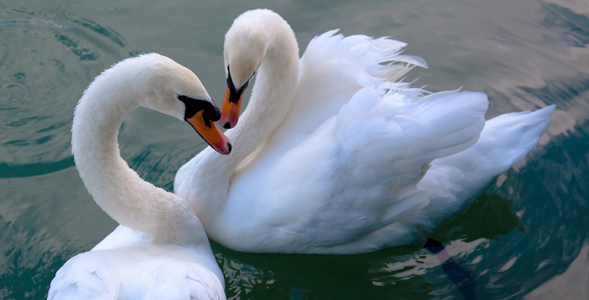 2-swan